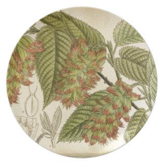 Carpinus japonica, Betulaceae Plate