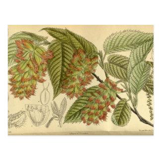 Carpinus japonica, Betulaceae Postcard