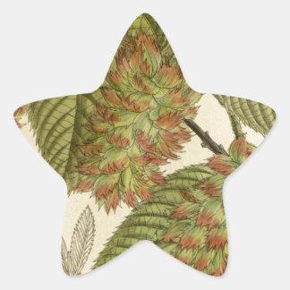 Carpinus japonica, Betulaceae Star Sticker