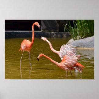 Carribean flamingos in water poster
