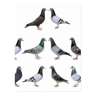 Carrier pigeons champions postcard