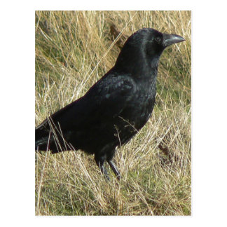 Carrion Crow In Moderately Long Grass in London's Postcard