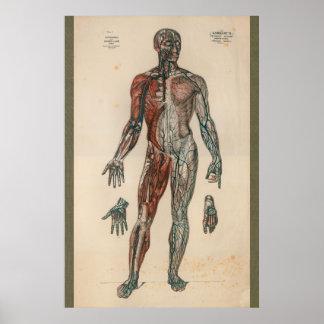 Carta 1851 de la anatomía de la fuente de sangre póster