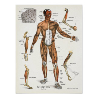 Carta anatómica de la anatomía de los músculos póster