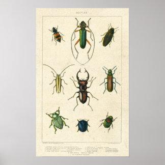 Carta antigua del escarabajo en el papel manchado posters