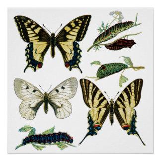 Carta de orugas y de mariposas perfect poster