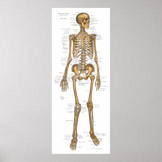 Carta esquelética humana 24 x 60 de la anatomía posters