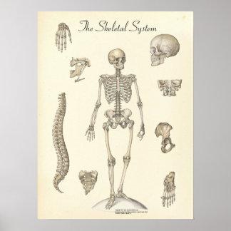 Carta esquelética humana de la anatomía posters
