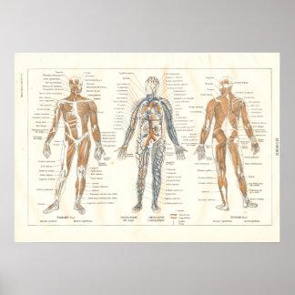 Carta francesa 1800's del vintage de la anatomía d póster