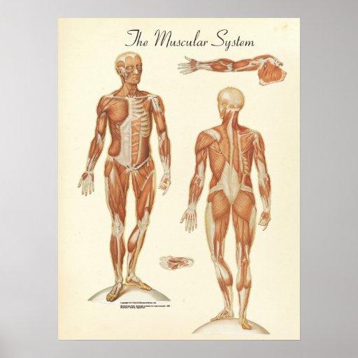 Carta humana de la anatomía del músculo impresiones