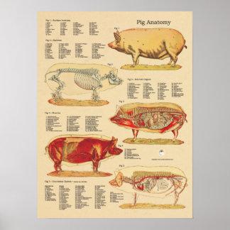 Carta veterinaria de la anatomía del cerdo póster