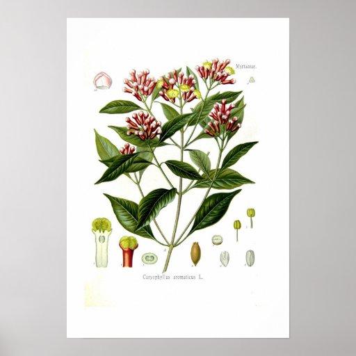 Caryophyllus aromaticus (Clove) Print