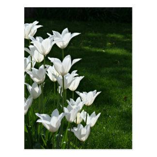 Casar la postal blanca del tulipán