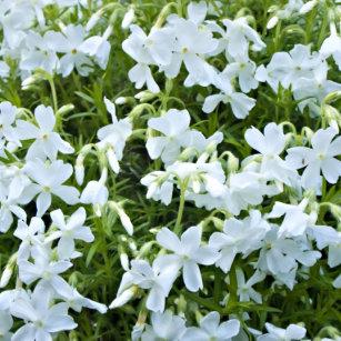 White Cascading Flowers Gifts On Zazzle