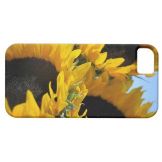 Caso del iphone 5 de los girasoles iPhone 5 carcasa
