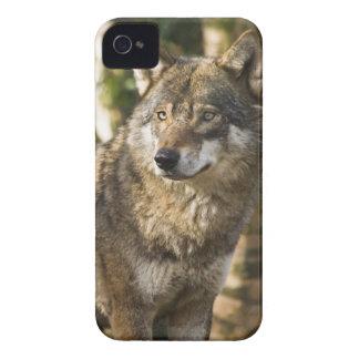 Caso majestuoso del iPhone 4 de la imagen del lobo iPhone 4 Funda