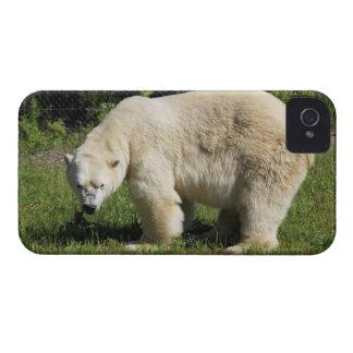 caso scowling del oso polar iPhone 4 Case-Mate cárcasas