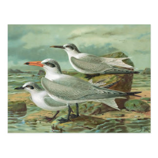 Caspian, Sandwich and Gull-billed Terns Postcard