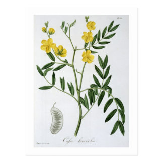 Cassia from 'Phytographie Medicale' by Joseph Roqu Postcard