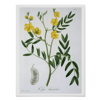 Cassia from 'Phytographie Medicale' by Joseph Roqu Print