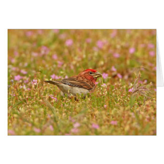 Cassin's Finch Cards