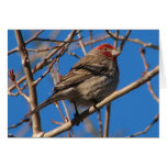 Cassin's Finch Notecard Greeting Cards