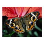 Castaño de Indias, flores del coenia de Junonia Postal