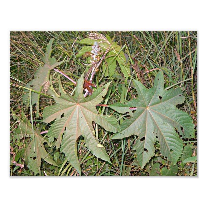 Castor Oil Plant Ricinus Communis Photo Print Zazzle Com