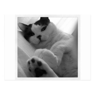 Cat Black & White Postcard