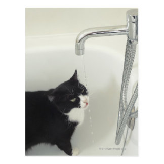 Cat Drinking Water Dripping From A Tap Postcard