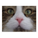 Cat Face on Postcard Post Cards