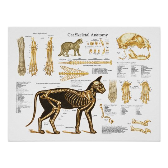 Cat Feline Skeletal Anatomy Poster | Zazzle.com