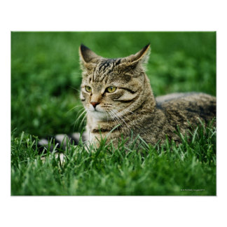 Cat lying in grass poster