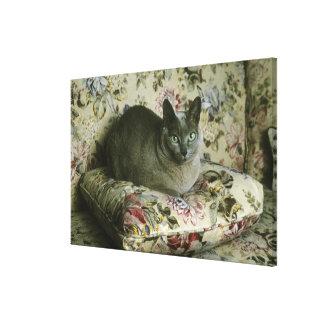 Cat, Minnie, Tonkinese. Canvas Print