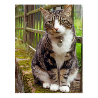 Cat on Wall Gift Postcard