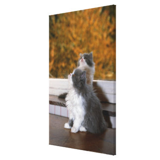 Cat sitting and looking up stretched canvas print