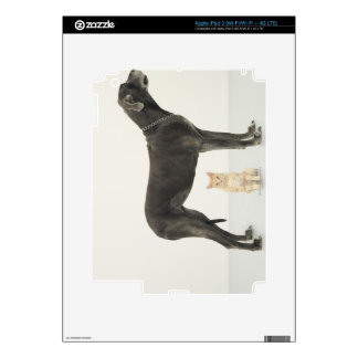 Cat sitting beneath Great Dane Skin For iPad 3