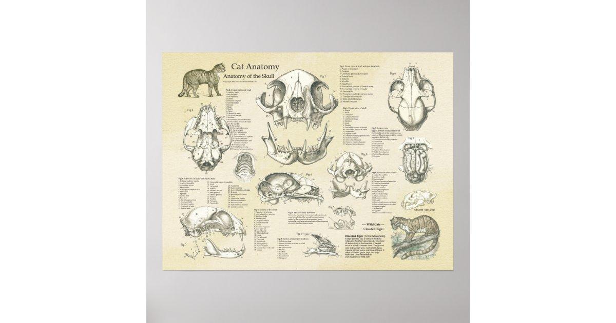 Cat Skeletal Skull Bones Anatomy Chart Zazzle