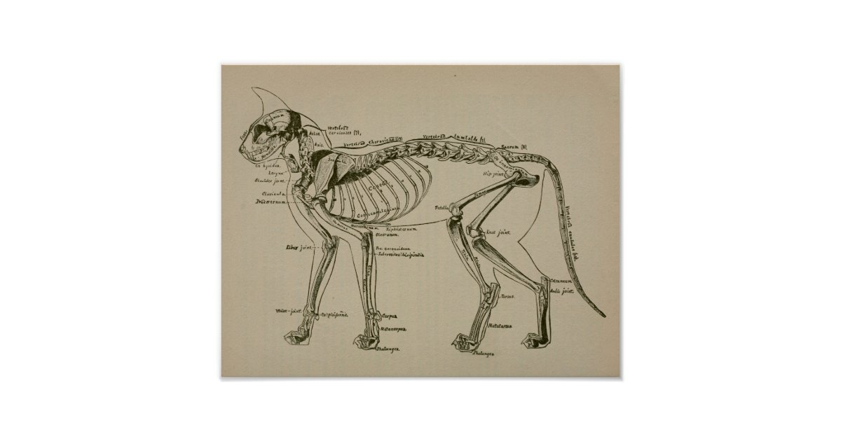 Cat Skeleton Anatomy Vintage Veterinary Print Zazzle