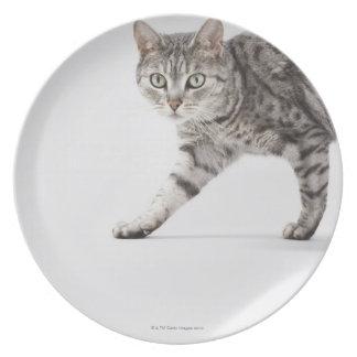 Cat walking dinner plate