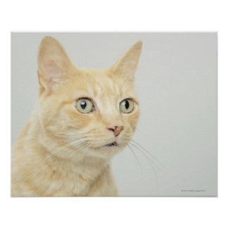 Cat with eyes open wide, close-up poster