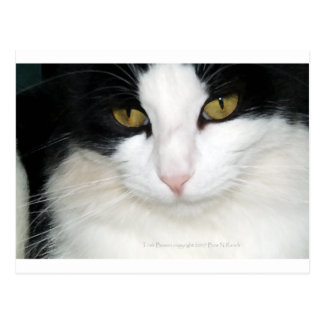 Cat with Golden Eyes Post Cards