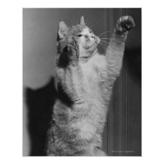 Cat with raised paws (B&W) Poster