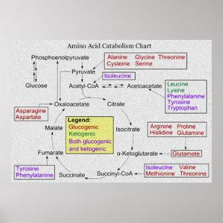 Catabolism of Proteinogenic Amino Acids Diagram Poster