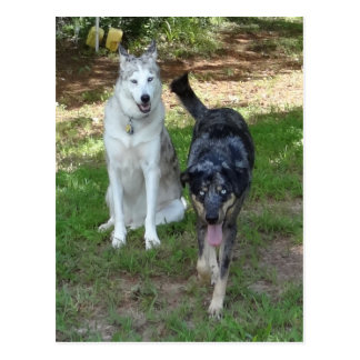 Catahoula and Ausky Dog Buddies Postcard