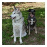 Catahoula and Ausky Dog Friendship Poster