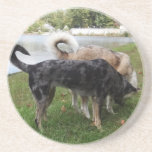 Catahoula Leopard Dog and Ausky Dog Sniffing Beverage Coasters