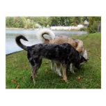 Catahoula Leopard Dog and Ausky Dog Sniffing Postcards