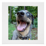 Catahoula Leopard Dog Face Poster
