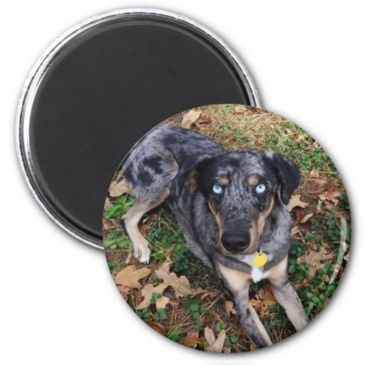 Catahoula Leopard Dog Laying Down Magnets